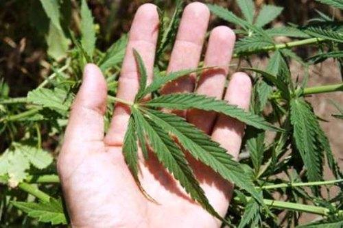 Una pianta di marijuana
