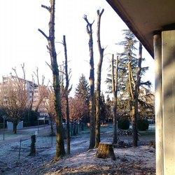 Alcuni degli alberi capitozzati a San Bovio