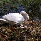 La femmina controlla la nidiata