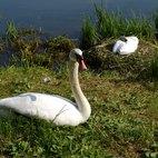 Il maschio protegge la femmina e la nidiata
