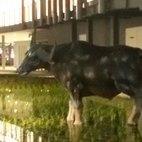 La riproduzione della mucca