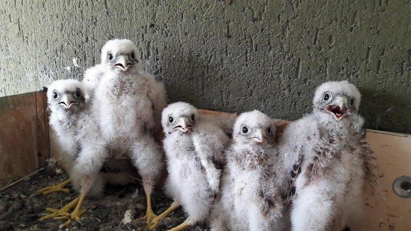 I pulcini nati sul balcone di Walter Ferrari