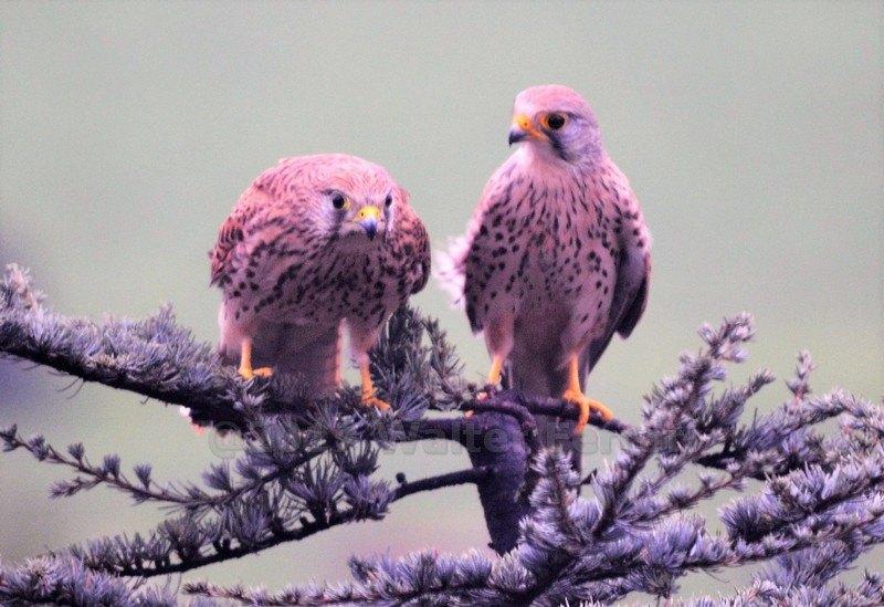 La coppia di Gheppi
