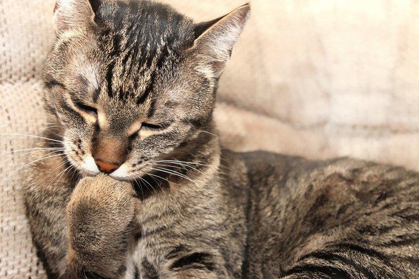 Il Gatto Nel Cinema Misterioso Tenero Compagno Alloccorrenza