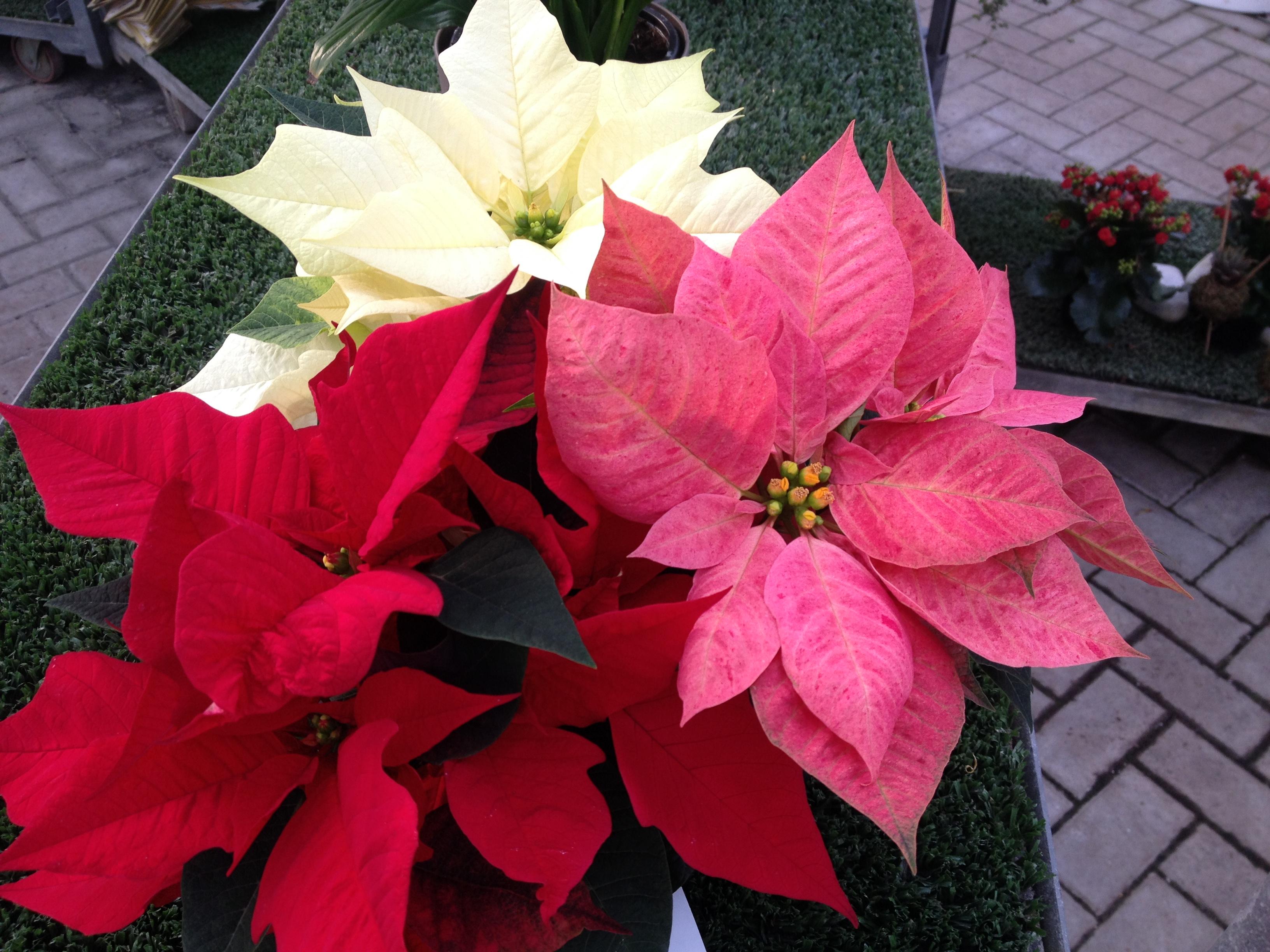 Stella Di Natale Appassita.Che Fare Con Le Stelle Di Natale Finite Le Festivita Natura 7giorni